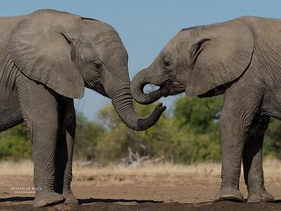 African Elephant, Mashatu GR, Botswana, May 2017-20