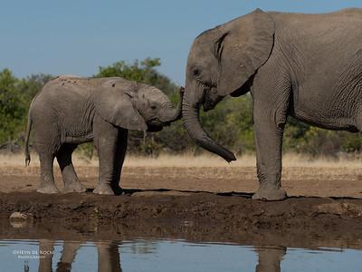 African Elephant, Mashatu GR, Botswana, May 2017-19