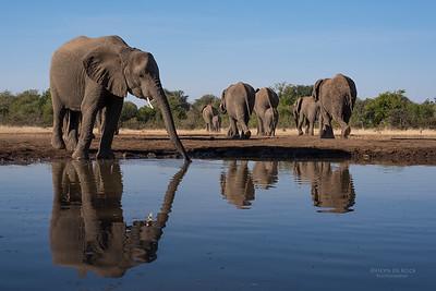 African Elephant, Mashatu GR, Botswana, May 2017-14