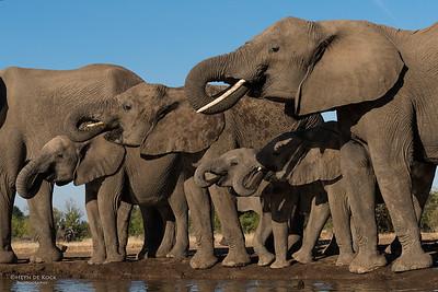 African Elephant, Mashatu GR, Botswana, May 2017-11