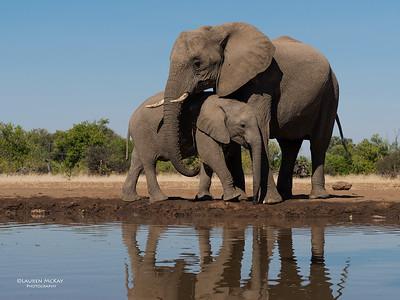 African Elephant, Mashatu GR, Botswana, May 2017-13