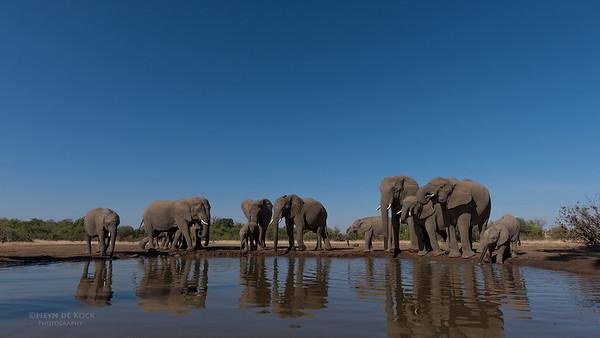 African Elephant, Mashatu GR, Botswana, May 2017-33