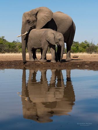 African Elephant, Mashatu GR, Botswana, May 2017-24