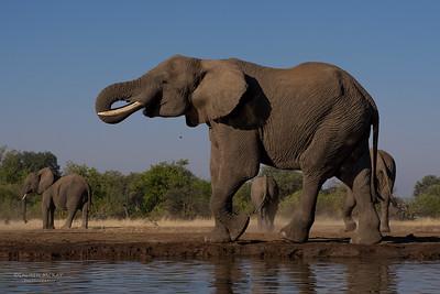African Elephant, Mashatu GR, Botswana, May 2017-27