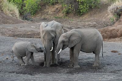 African Elephant, Mashatu GR, Botswana, May 2017-1