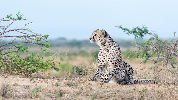Cheetah, Phinda, KZN, SA, Oct 2016-8