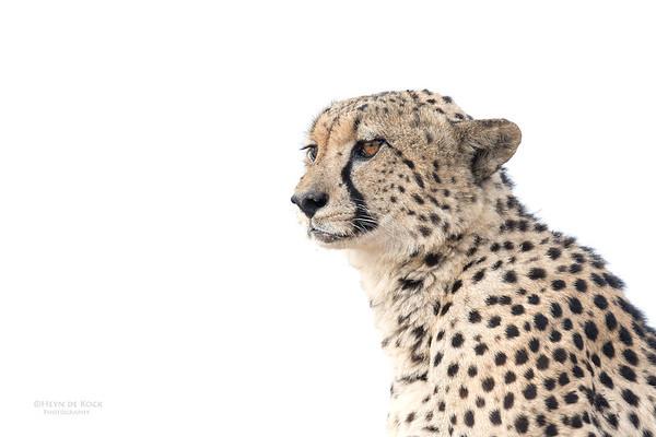 Cheetah, Phinda, KZN, SA, Oct 2016-11