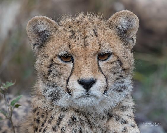 Cheetah, Phinda, KZN, SA, Oct 2016-2