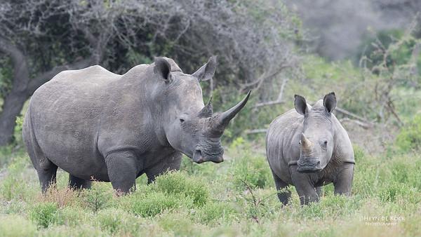 White Rhino, Phinda, KZN, SA, Oct 2016-5
