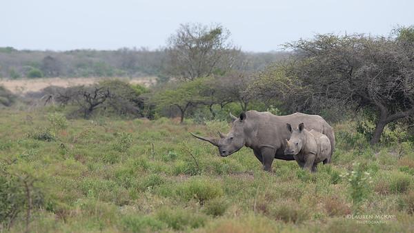 White Rhino, Phinda, KZN, SA, Oct 2016-2