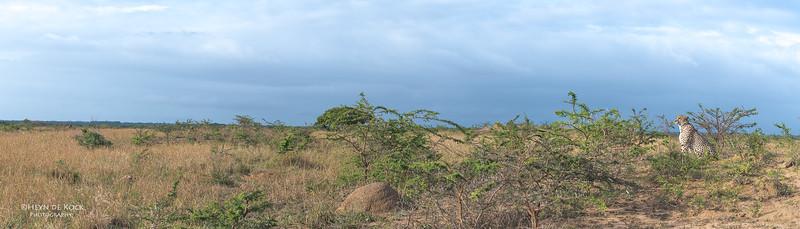 Cheetah, Phinda, KZN, SA, Oct 2016-17