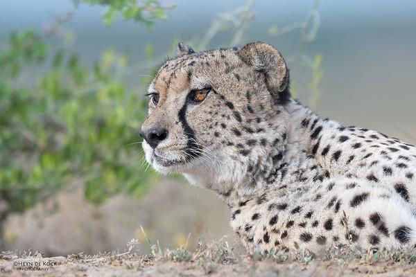 Cheetah, Phinda, KZN, SA, Oct 2016-7
