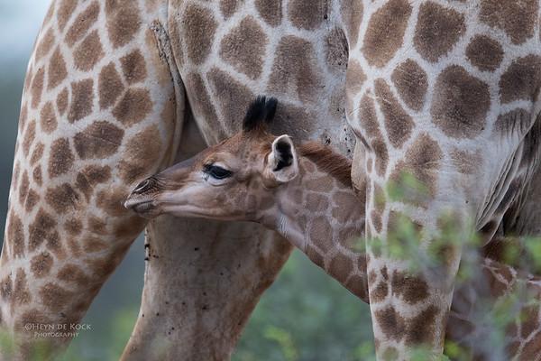 Giraffe, Phinda, KZN, SA, Oct 2016-1