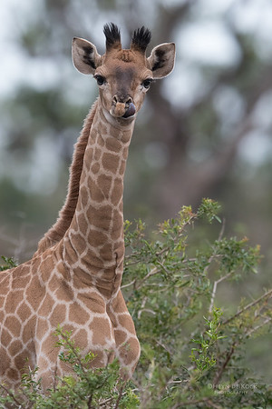 Giraffe, Phinda, KZN, SA, Oct 2016-2