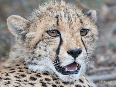 Cheetah, Phinda, KZN, SA, Oct 2016-12