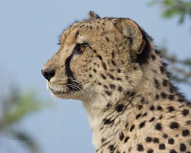 Cheetah, Phinda, KZN, SA, Oct 2016-1