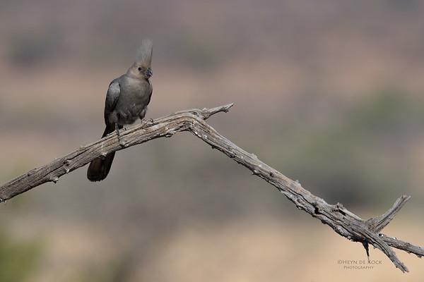 Grey Go-away-bird, Pilansberg NP, Sept 2016-1