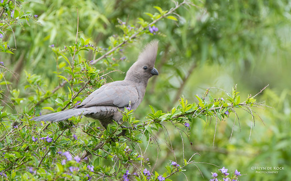 Grey Go-away-bird, Pilansberg National Park, SA, Dec 2013-1