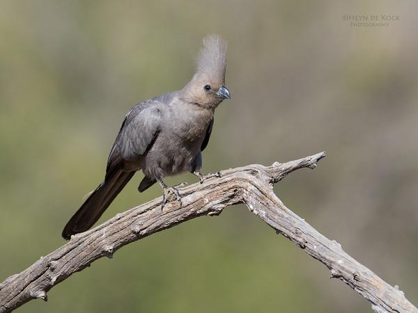 Grey Go-away-bird, Pilansberg NP, Sept 2016