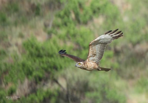 Brown Snake-eagle, Pilansberg National Park, SA, Dec 2013-1