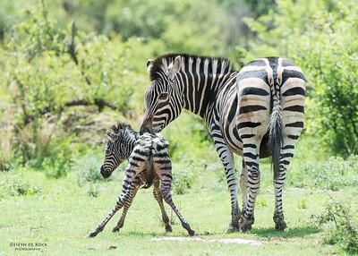 Plains Zebra & foal, Pilansberg National Park, SA, Dec 2013-3