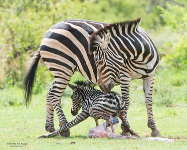 Plains Zebra & foal, Pilansberg National Park, SA, Dec 2013-4