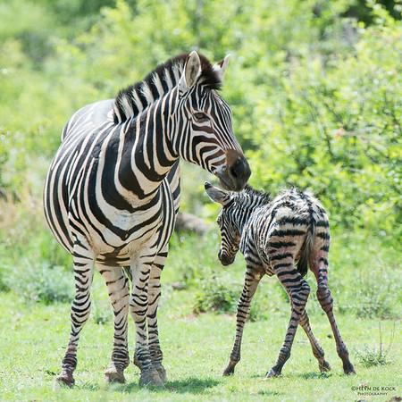 Plains Zebra & foal, Pilansberg National Park, SA, Dec 2013-1 copy
