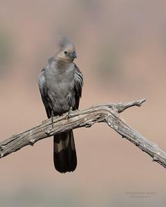 Grey Go-away-bird, Pilansberg NP, Sept 2016-2