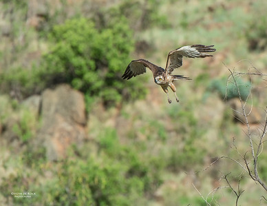 Brown Snake-eagle, Pilansberg National Park, SA, Dec 2013-2