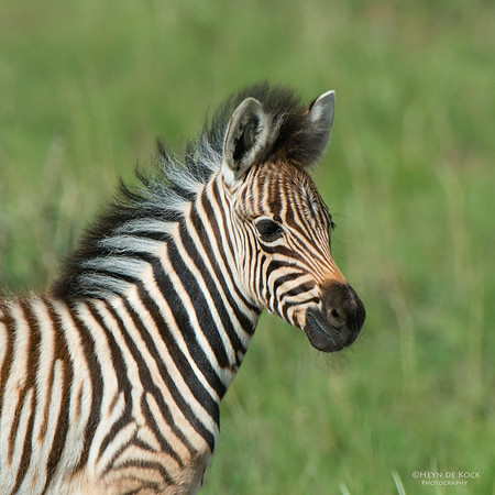 Plains Zebra, Pilansberg National Park, SA, Dec 2013-2