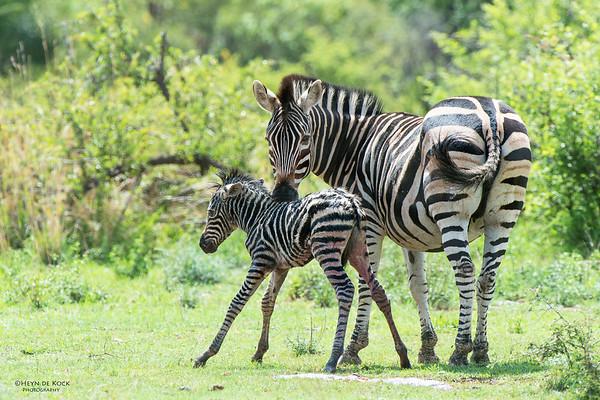 Plains Zebra & foal, Pilansberg National Park, SA, Dec 2013-2