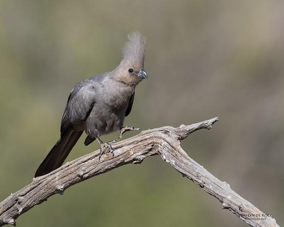 Grey Go-away-bird, Pilansberg NP, Sept 2016-3