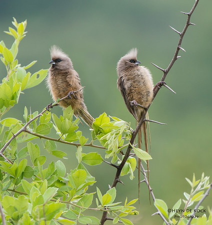 Speckled Mousebird, Pilansberg National Park, SA, Dec 2013-1