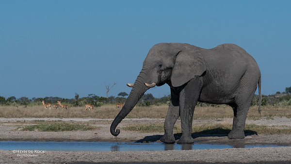 African Elephant, Savuti, Chobe NP, Botswana, May 2017-5