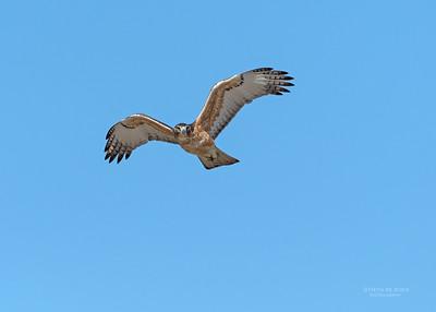 African Hawk Eagle, imm, Savuti, Chobe NP, Botswana, May 2017-3