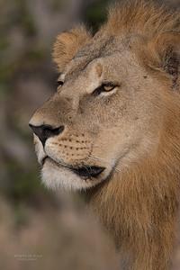 African Lion, Savuti, Chobe NP, Botswana, May 2017-11