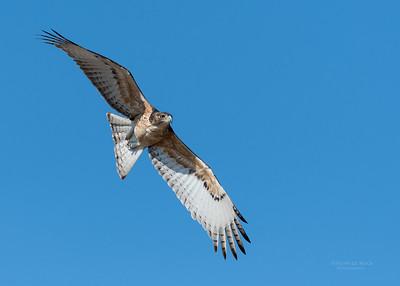 African Hawk Eagle, imm, Savuti, Chobe NP, Botswana, May 2017-2