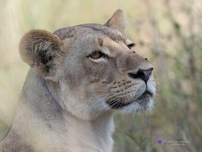African Lion, Savuti, Chobe NP, Botswana, May 2017-14