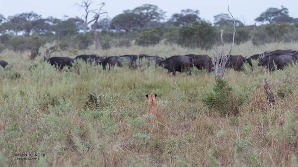 African Lion & Buffalo, Savuti, Chobe NP, Botswana, May 2017-43