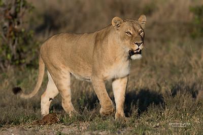 African Lion, Savuti, Chobe NP, Botswana, May 2017-2