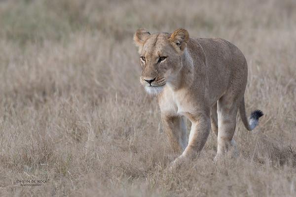 African Lion, Savuti, Chobe NP, Botswana, May 2017-22