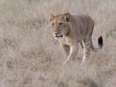 African Lion, Savuti, Chobe NP, Botswana, May 2017-24