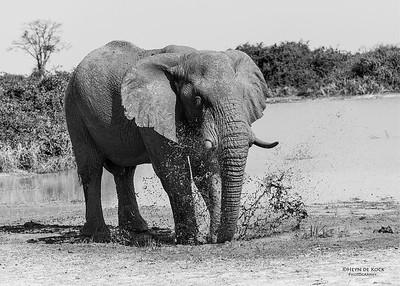 African Elephant, b&w, Savuti, Chobe NP, Botswana, May 2017-4