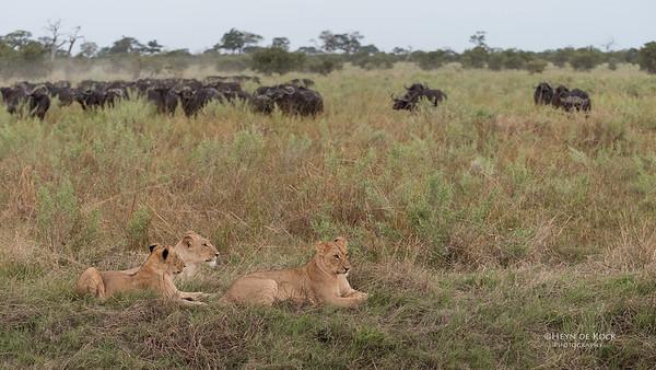 African Lion & Buffalo, Savuti, Chobe NP, Botswana, May 2017-42
