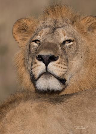 African Lion, Savuti, Chobe NP, Botswana, May 2017-10