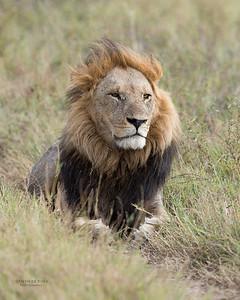 African Lion, Savuti, Chobe NP, Botswana, May 2017-19