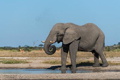 African Elephant, Savuti, Chobe NP, Botswana, May 2017-4