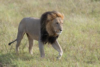 African Lion, Savuti, Chobe NP, Botswana, May 2017-21