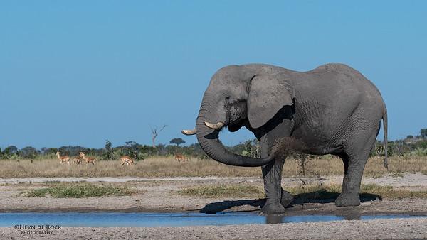 African Elephant, Savuti, Chobe NP, Botswana, May 2017-3