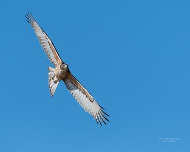 African Hawk Eagle, imm, Savuti, Chobe NP, Botswana, May 2017-1